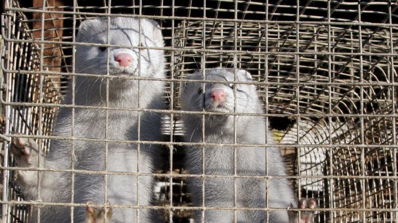 Δανία: Στον δρόμο οι εξαγριωμένοι εκτροφείς βιζόν για τα μέτρα του Covid-19