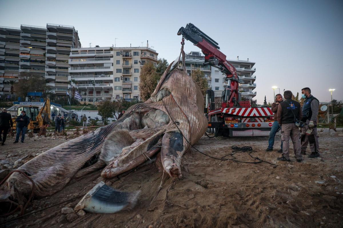 Φρεαττύδα: Τεράστια φάλαινα ξεβράστηκε στη παραλία του Πειραιά-video