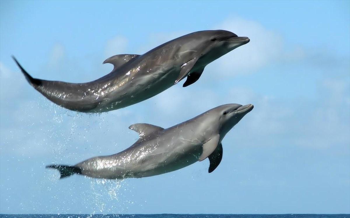 Νέα Ρόδα Χαλκιδικής: Επαγγελματίες ψαράδες ελευθέρωσαν δελφίνι που είχε μπλεχτεί σε δίχτυα-video