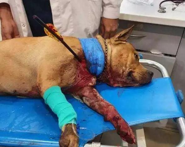 Χτύπησαν με βέλος σκύλο – Νοσηλεύεται σε κρίσιμη κατάσταση!