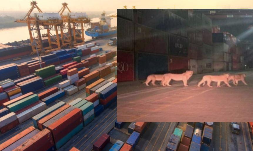 Δραπέτευσαν λιοντάρια στο λιμάνι του Πειραιά; Η φωτογραφία που έγινε Viral!