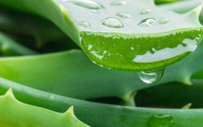 Aloe Vera, το «φυτό της αθανασίας» και καλής υγείας!