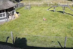 "Viral Βίντεο: Τράγος ""σούπερμαν"" σώζει κοτόπουλο από επίθεση γερακιού!"